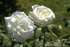 Sembremos rosas blancas.